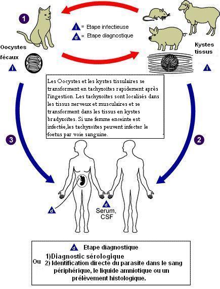 toxoplasma gondii chat